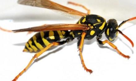Ako vas ubode osa, pčela ili stršljen – ovo će vas spasiti bola i otoka
