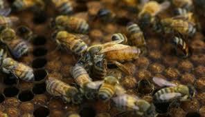 Pčele i med sa vlastitog krova i balkona