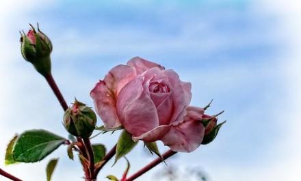 POUČNA PRIČA: Kad bor tuguje što nije hrast, a vinova loza želi da cveta kao ruža