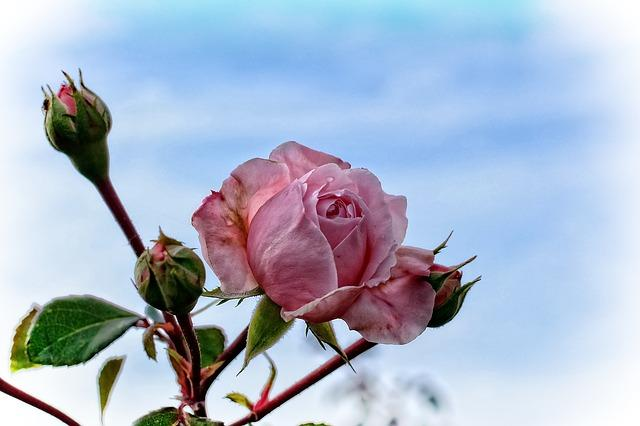 rose-976707_640