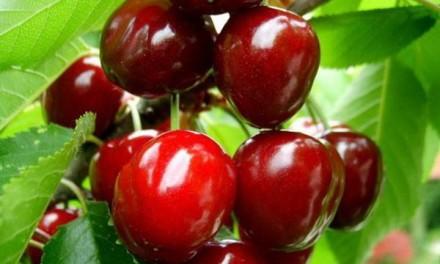 TREŠNJA – Žarki plodovi velikih zdravstvenih dobrobiti