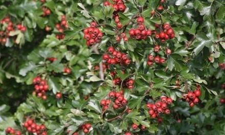 Ovo je jedna od najljekovitijih biljaka, DIŽE IZ MRTVIH